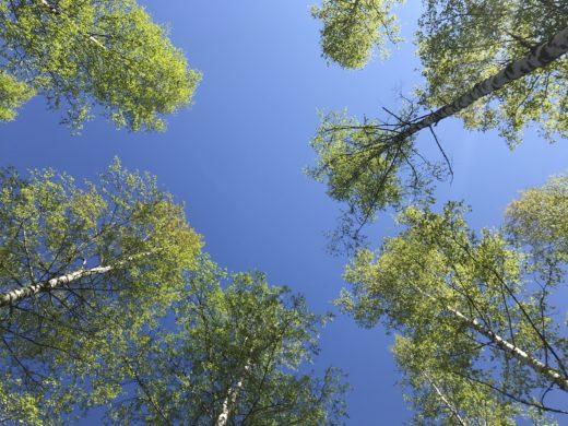 Kevätkoivuja sinistä taivasta vasten.