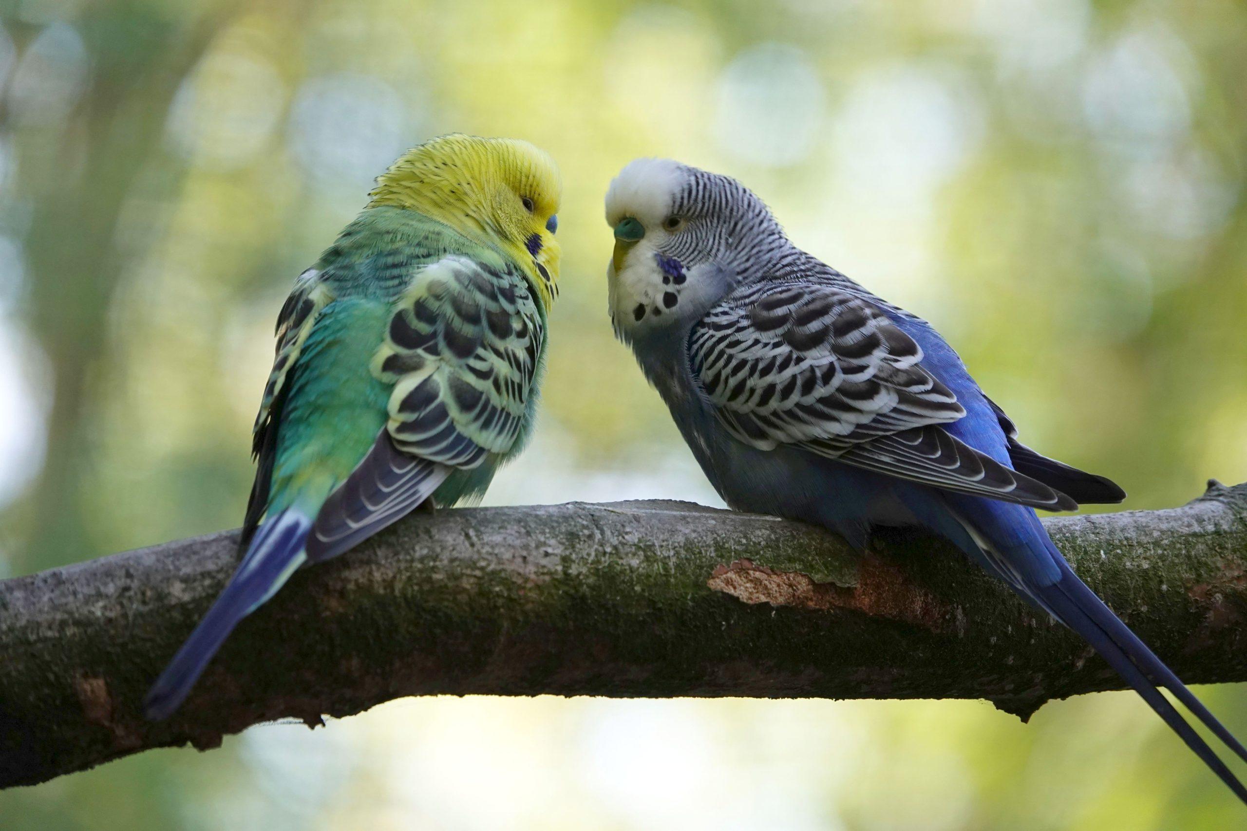 Kaksi papukaijaa juttelee