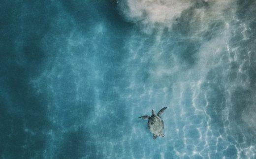 Kilpikonna ui kirkkaassa vedessä.